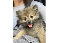Fully Registered Pomeranian Puppy For Sale