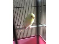 Lutino budgie with cage