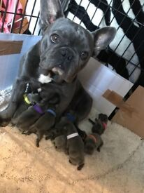 Litter of blue and lilac french bulldogs