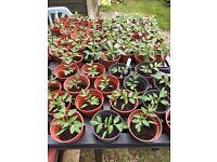 Tomato plants for sale 50p each