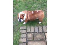 Beautiful English Bulldog Girl For Sale