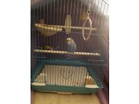Looking for a good home for my little budgie (1 FREE Budgie with cage, treats and toys)
