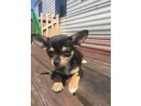 1 Chihuahua Puppies need good homes