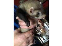 ***HOB POLECAT KIT***