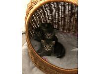 Litter of stunning grey kittens