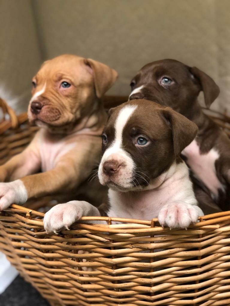 American xl bully puppies | in Ealing, London | Gumtree