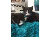 2 black and white male kittens need loving homes