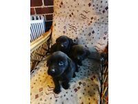 Only 1 Labrador Puppy left, Must go