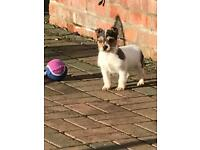 Jack Russell Merle puppy