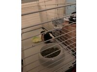 2 female guinea pigs and cage