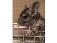 Chinchilla couple, male (neutered) and female, both 4 years old come with 2 tier cage £250 ono