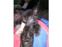 2 black n white female n 1 black female kitten