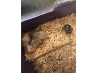 Baby dwarf hamsters £5 each or 2 for £8