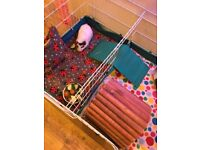 2 Female Guinea Pigs with 2 cages and accessories