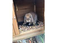 Lop eared rabbit and large cage both 4 months old