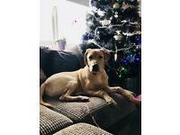 Male labrador 1years old