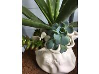 Aloe / succulents