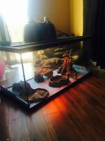 Young Bearded Dragons with full set up