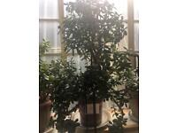 Large Jade plant / Large Money Plant.