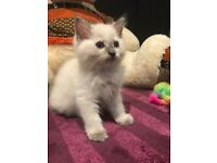 Pure Ragdoll kitten looking for loving forever home