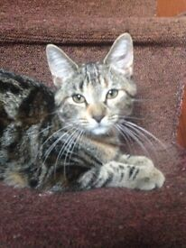 Lovely girl 12 weeks old tabby with ginger