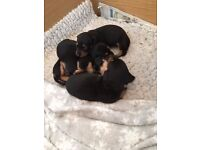 FOR SALE Miniature Dachshund Puppies Smooth Haired