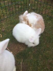 Gorgeous baby bunnies for sale - 2 left x