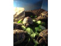 Tortoises 2yrs old £80
