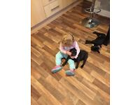 French bulldog Black brindle 7month old female