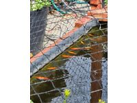 Young, self-bred goldfish for outdoor ponds (and make your own pond easily - just ask)