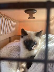 Kitten Ragdoll X female
