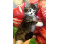 Very Beautiful Maine coon X Kitten 11 weeks old male
