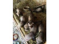 Polecat ferrets 8 weeks old