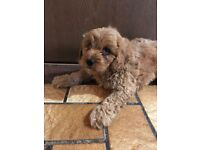 F1 Cavapoo Pups for Sale