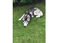 Female siberian husky for sale kc registered 3 years old and good with children.