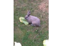 2 male rabbits free to good home