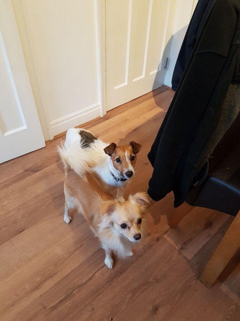 adorable jachau puppies