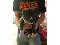 Last 2 girl Staffie x bullmastiff puppys