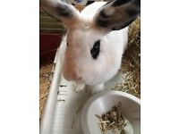 Small Female Black and White Rabbit and Hutch