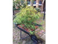 Rotherhithe Nursery - Japanese Yew Bush in decorative wheelbarrow & red cedar cover, £50