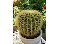 mother in laws cushion, Echinocactus grusonii,