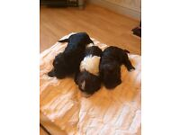 F1 Sproodle Puppies