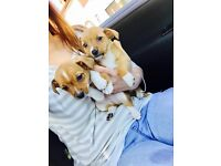 Absolutely Beautiful jack Russel puppies