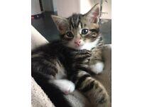 Kitten Male Tabby