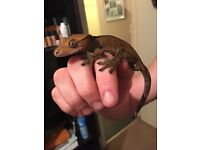 Male crested gecko & vivarium