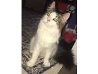 Gorgeous fluffy kitten 9 months old for sale