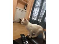 Full white kitten