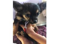Chihuahua pedigree girl £600