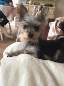 Miniature Yorkshire terrier female 9 months old