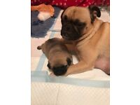 KC registered Pug Puppies. Fawn with black mask. £1200